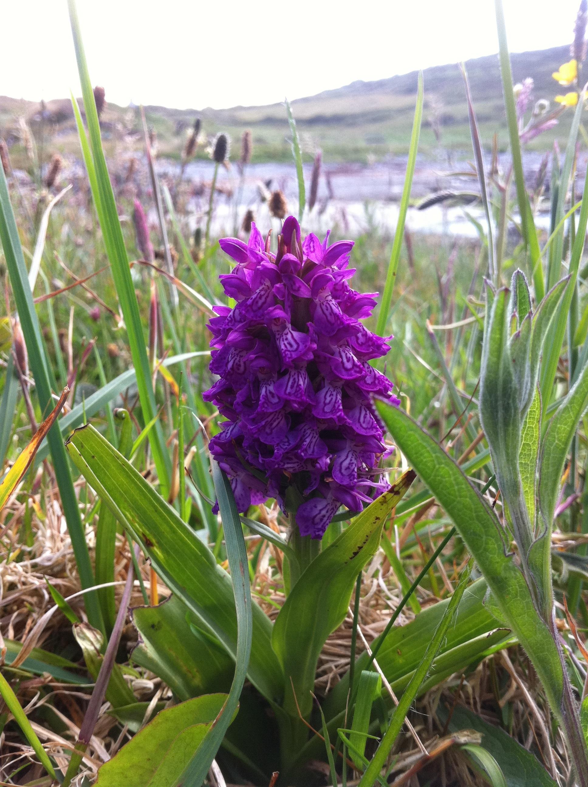 wild orchid  wildsherkin, Beautiful flower