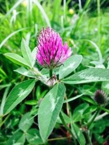 wildsherkin clover